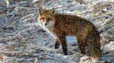 foxes wildlife animals winter outdoors nature