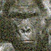 gorilla animal faces ape monkey wildlife nature species