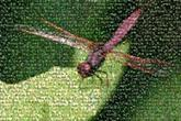 pepatung dragonfly dragonflies insects bugs nature wildlife