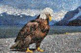 bald eagle animals birds nature wildlife