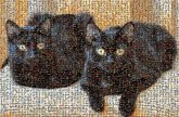black cats animals pets