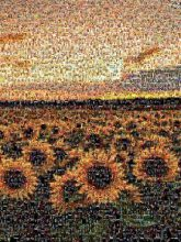 sunflowers spring nature meadow fields sunset dusk outdoors landscape blooms petals farms