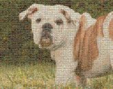 bulldogs pets animals nature outdoors mascots