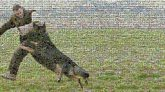 Dog breed Dog Mammal Vertebrate Canidae Carnivore Schutzhund Rottweiler Beauceron Working dog